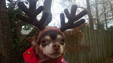 Coco always dreamed of joining Santa's team...She may be small, but she's scrappy...